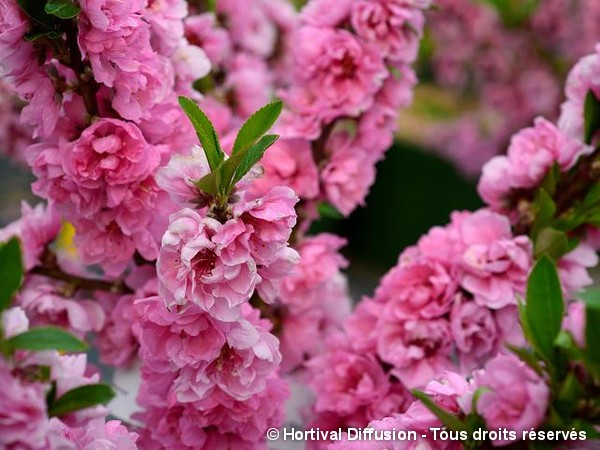 Pêcher nain à fleurs roses
