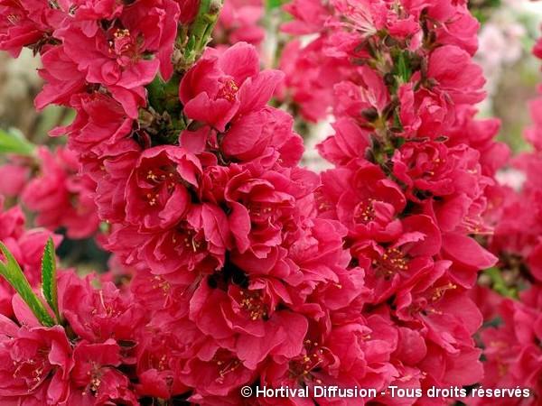 Pêcher nain à fleurs rouges