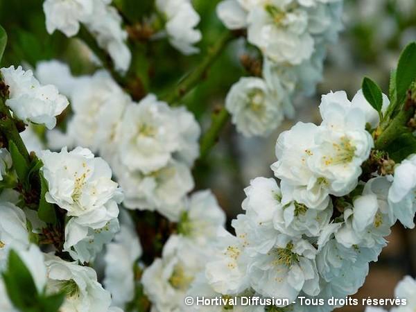 Pêcher nain à fleurs blanches