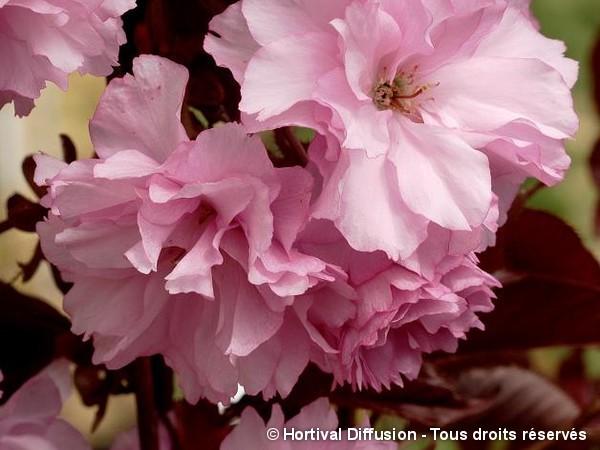 Cerisier des collines du Japon Royal Burgundy
