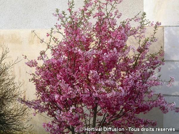 Cerisier du Japon Higan Fukubana