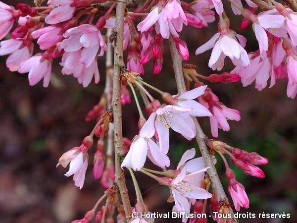 Cerisier pleureur du Japon rouge