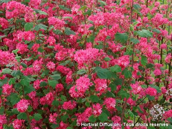 Groseillier à fleurs RED BROSS®
