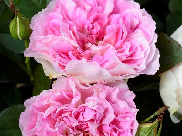 Rosier à grandes fleurs BORNEO ODORE®