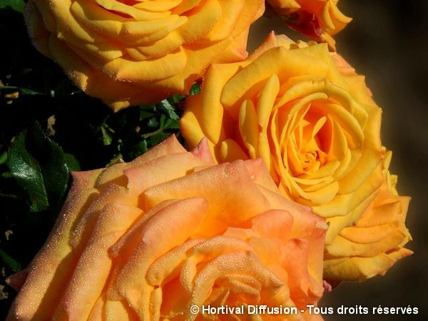 Rosier à fleurs groupées AMBER FLUSH®