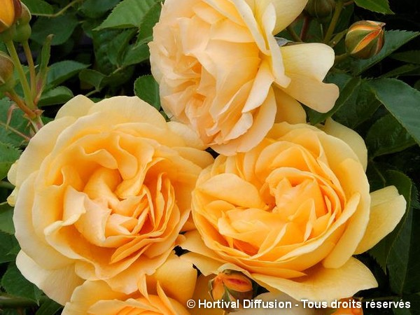 Rosier à fleurs groupées ANISADE®