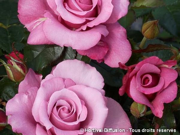 Rosier à grandes fleurs BARBARA STREISAND®