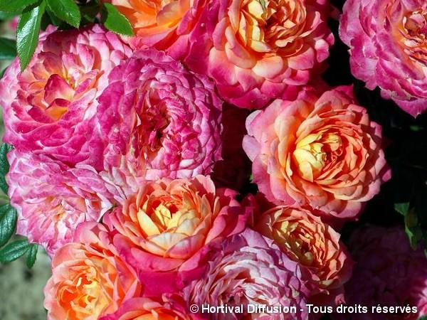 Rosier à fleurs groupées Briosa