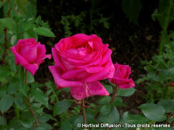 Rosier à grandes fleurs Criterion