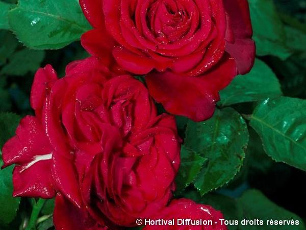 Rosier à grandes fleurs DOMINICA®