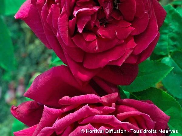 Rosier à grandes fleurs Ernest H. Morse