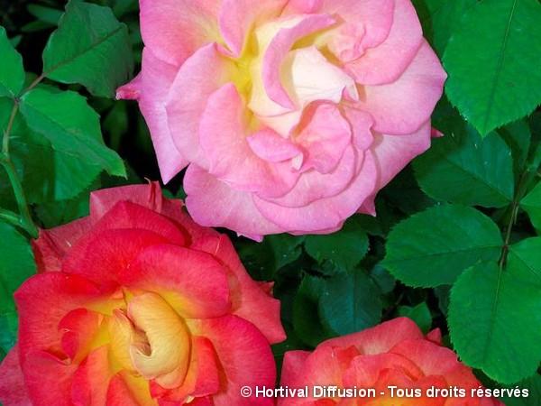 Rosier à fleurs groupées FESTIROSE®