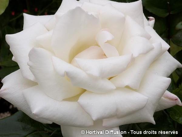 Rosier à grandes fleurs GALAHAD®