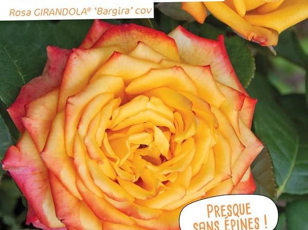 Rosier à grandes fleurs GIRANDOLA®