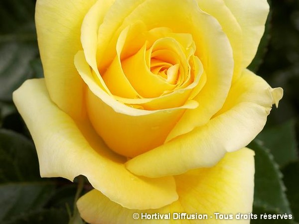 Rosier à grandes fleurs GLORIUS®