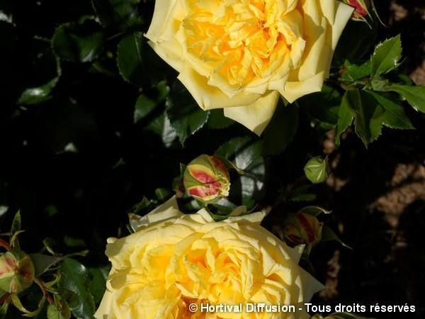 Rosier à fleurs groupées Golden Delight