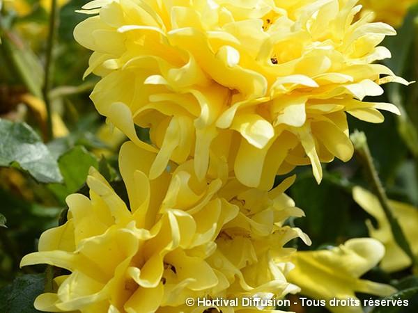 Rosier à fleurs groupées GOLDEN LADY RUFFLES®