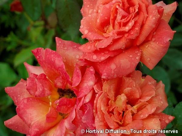 Rosier à grandes fleurs Hommage d'Anjou