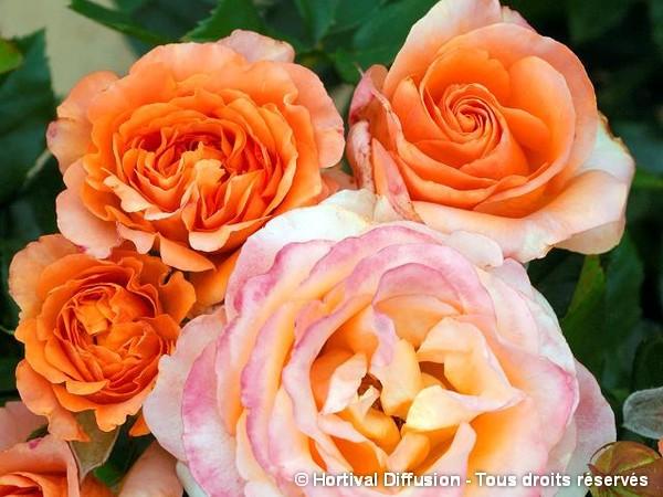Rosier à grandes fleurs IBIZA®
