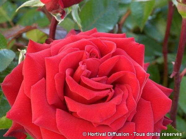 Rosier à grandes fleurs INGRID BERGMAN®