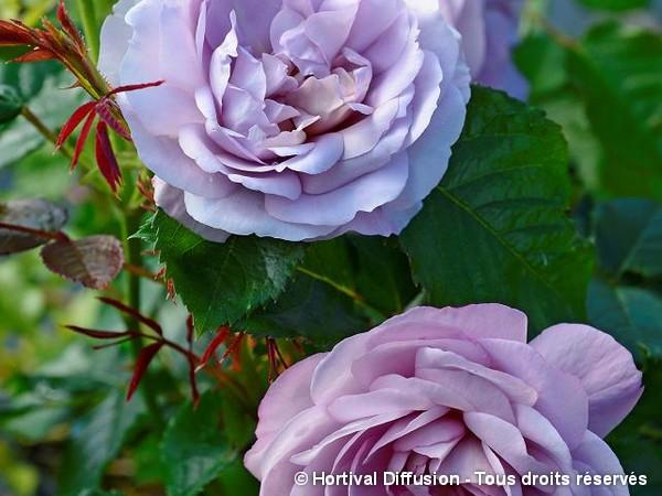 Rosier à fleurs groupées LADY PERFUME®