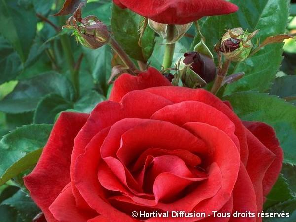Rosier à grandes fleurs LE GRAND HUIT®