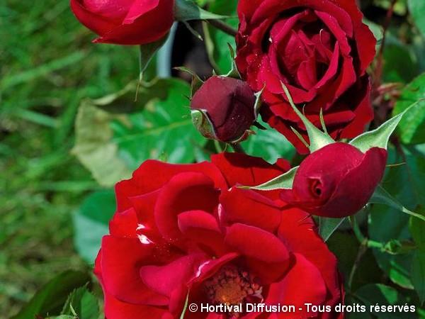 Rosier à fleurs groupées Lili Marlène