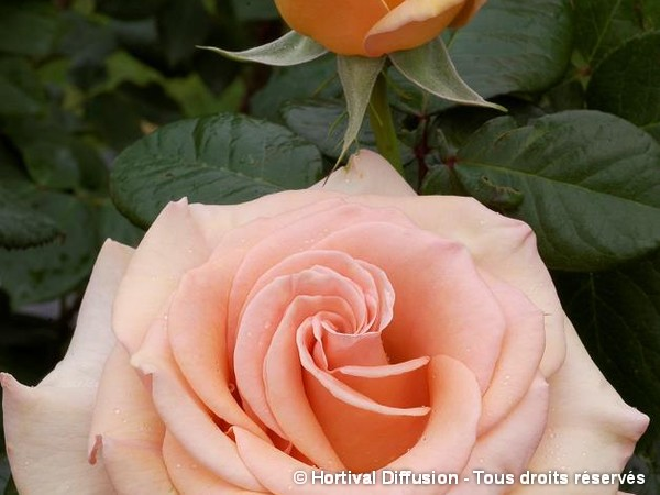 Rosier à grandes fleurs MARILYN MONROE®