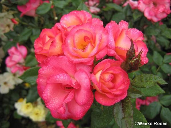 Rosier à fleurs groupées MELICOLORS®