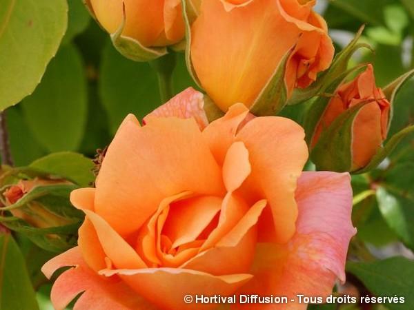 Rosier à grandes fleurs Michele Meilland