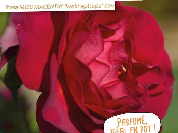 Rosier à fleurs groupées MISS MAGENTA®