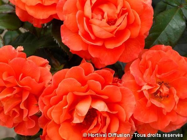 Rosier à fleurs groupées MISS TANGO®