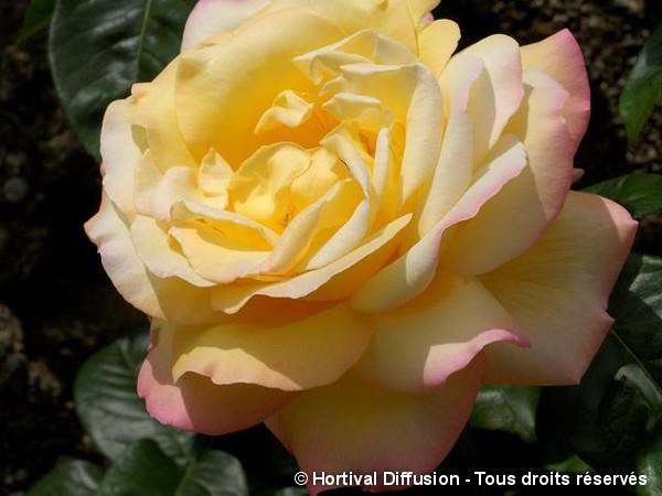 Rosier à grandes fleurs Madame A. Meilland=Peace