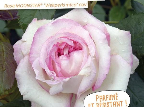 Rosier à grandes fleurs MOONSTAR®