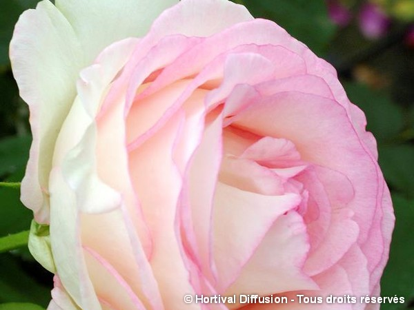 Rosier à grandes fleurs MOONSTONE®