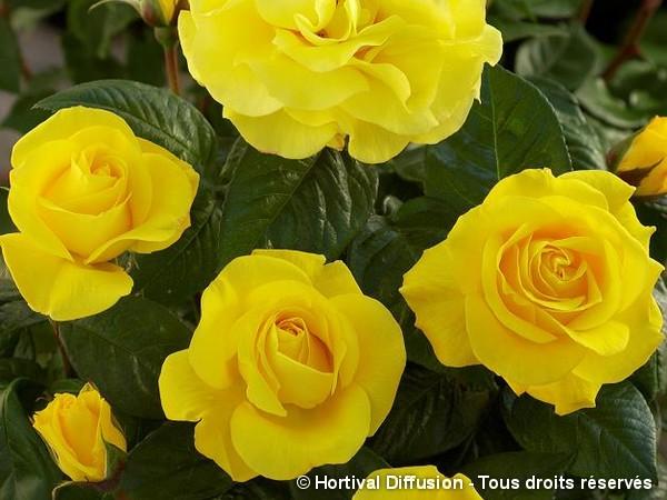 Rosier à fleurs groupées NOCES D'OR®