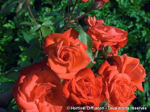 Rosier à fleurs groupées Orange Sensation