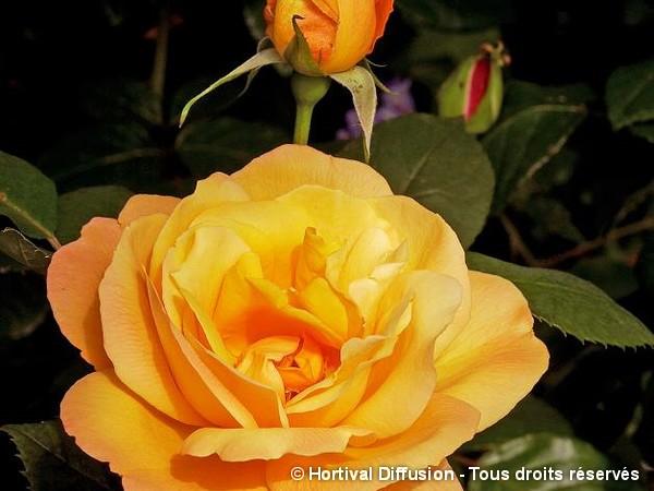 Rosier à grandes fleurs ORIENTALIA®