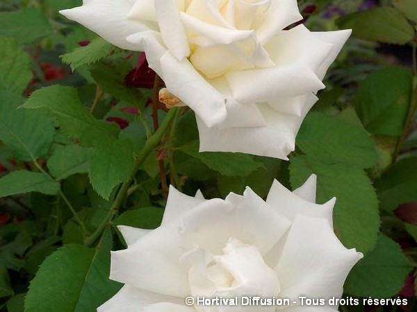 Rosier à grandes fleurs PAPE JEAN PAUL II®
