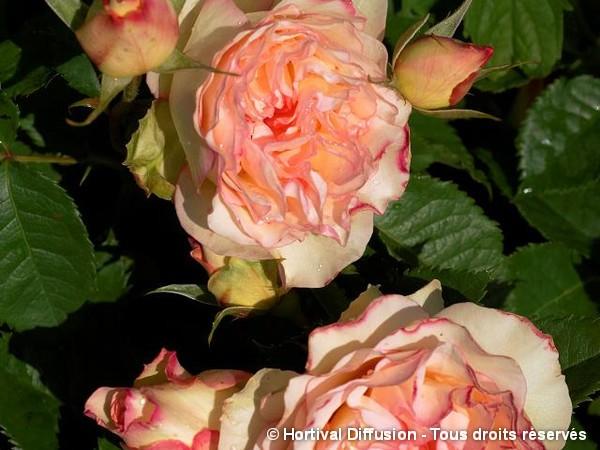 Rosier à fleurs groupées PERFUME KISSES®