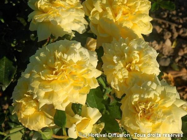 Rosier à grandes fleurs Quebec=Mme Marie Curie