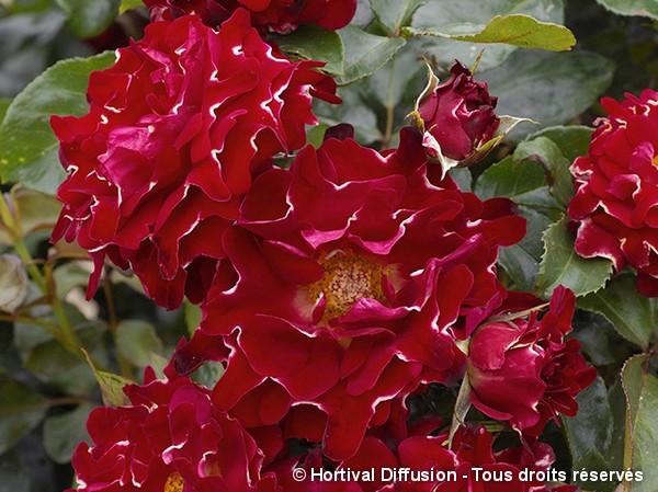 Rosier à fleurs groupées RED LADY RUFFLES®