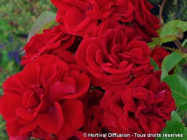 Rosier à fleurs groupées Ruth Leuwerick