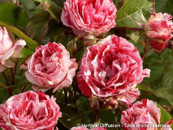 Rosier à fleurs groupées SCENTIMENTAL®