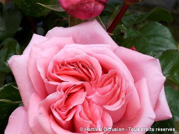 Rosier à grandes fleurs SPECIAL ANNIVERSARY®
