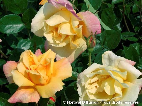 Rosier à grandes fleurs Sutter's Gold