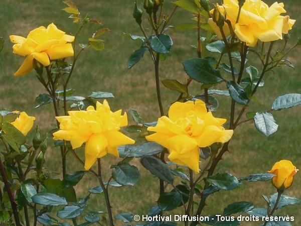 Rosier à fleurs groupées Yellow Hammer