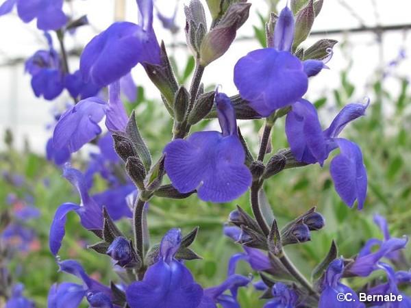 Sauge Hybride à petites feuilles Blue Note