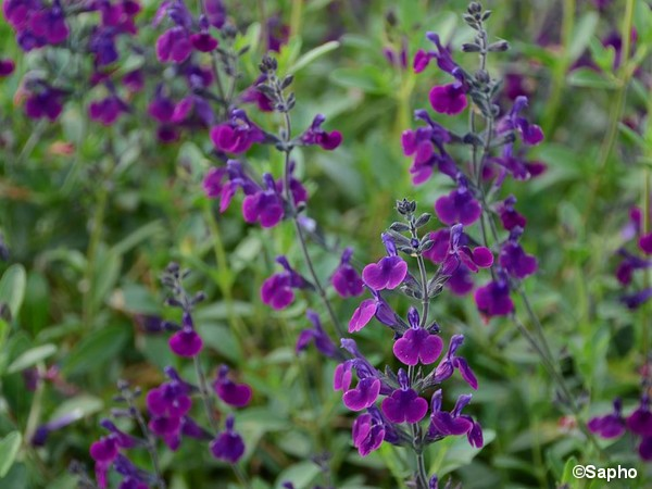 Sauge Hybride à petites feuilles Violette de Loire