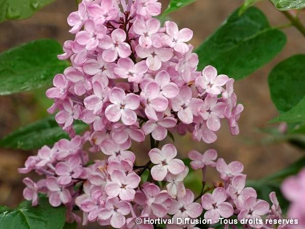 Lilas à fleurs de jacinthe Maiden's Blush